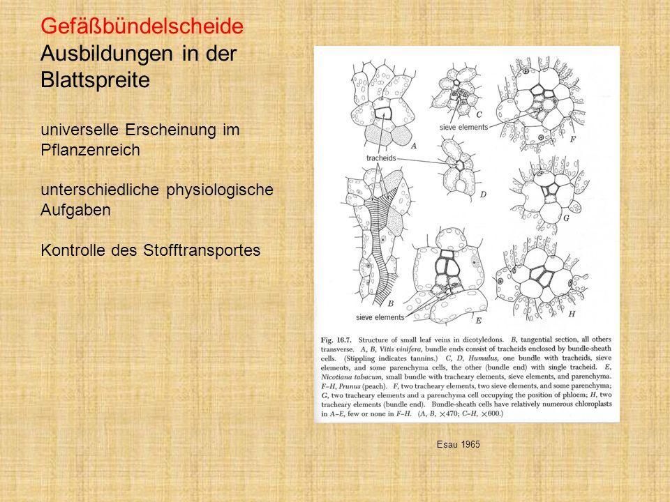 Gefäßbündelscheide Ausbildungen in der Blattspreite universelle Erscheinung im Pflanzenreich unterschiedliche physiologische Aufgaben Kontrolle des Stofftransportes