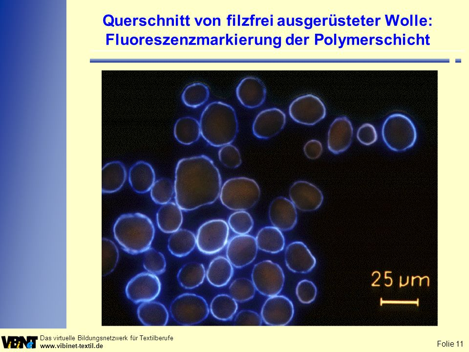 Querschnitt von filzfrei ausgerüsteter Wolle: Fluoreszenzmarkierung der Polymerschicht