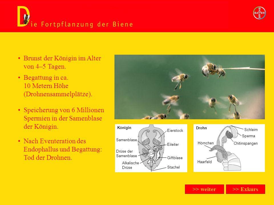 Die Fortpflanzung der Biene