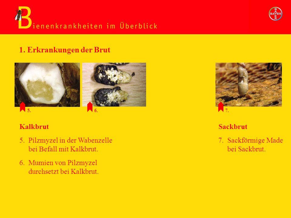Erkrankung d. Brut: Faulbrut/Sackbrut