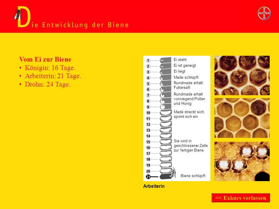 Exkurs Entwicklung der Biene