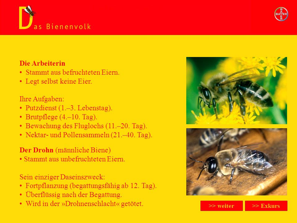 Das Bienenvolk/Arbeiterin