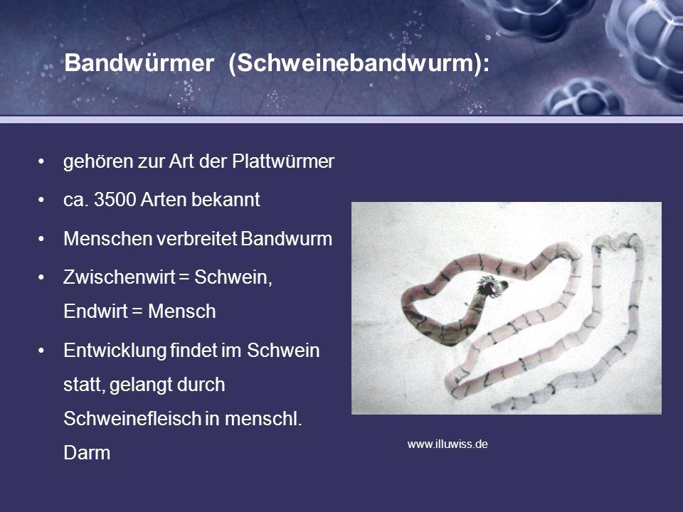 Bandwürmer (Schweinebandwurm):