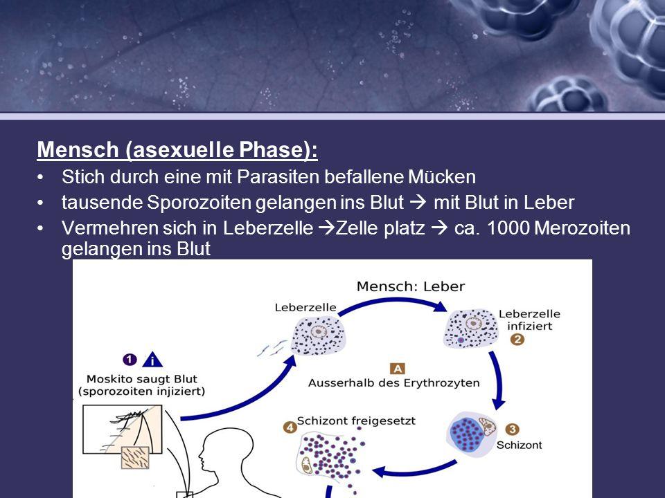 Mensch (asexuelle Phase):