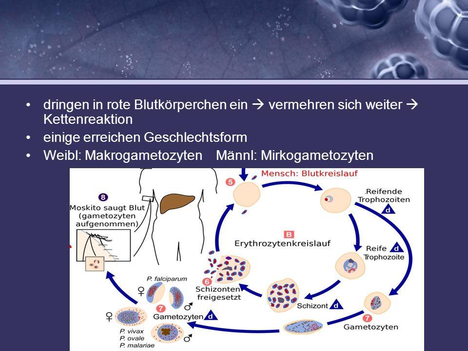 dringen in rote Blutkörperchen ein  vermehren sich weiter  Kettenreaktion