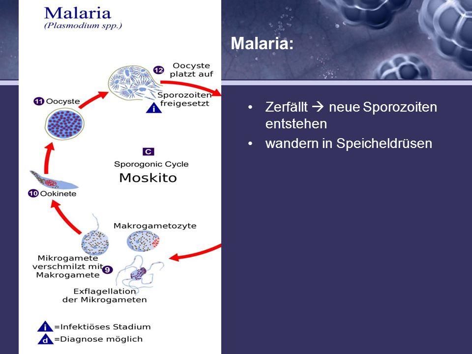 Malaria: Mücke (sexuelle Phase) Zerfällt  neue Sporozoiten entstehen