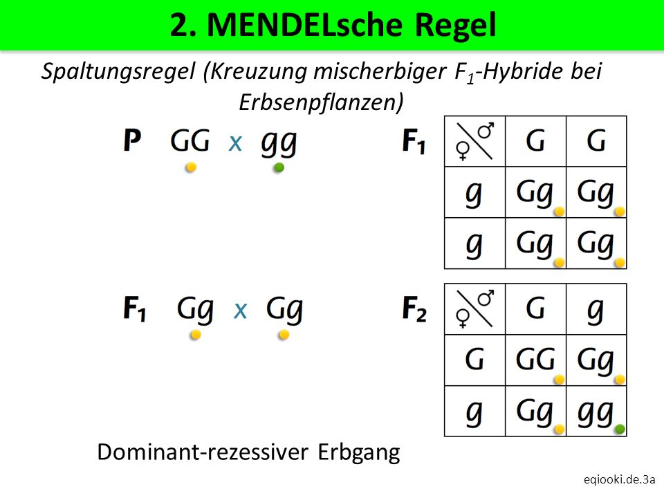 2. MENDELsche Regel Spaltungsregel (Kreuzung mischerbiger F1-Hybride bei Erbsenpflanzen) Dominant-rezessiver Erbgang.
