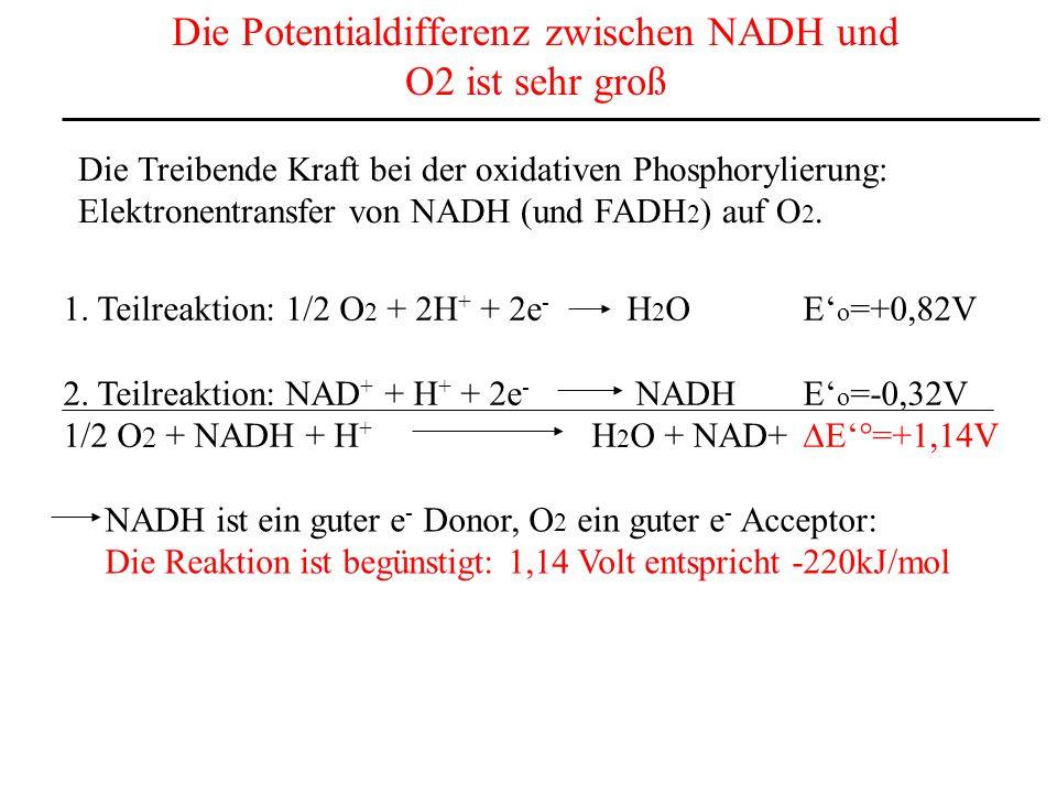 Die Potentialdifferenz zwischen NADH und