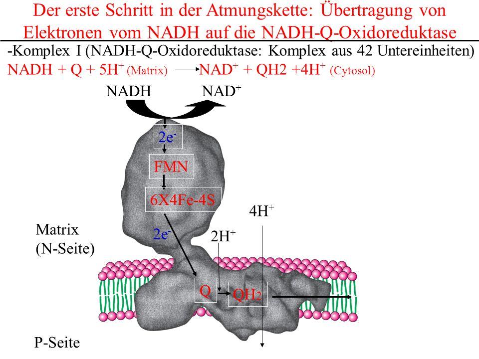 Der erste Schritt in der Atmungskette: Übertragung von Elektronen vom NADH auf die NADH-Q-Oxidoreduktase