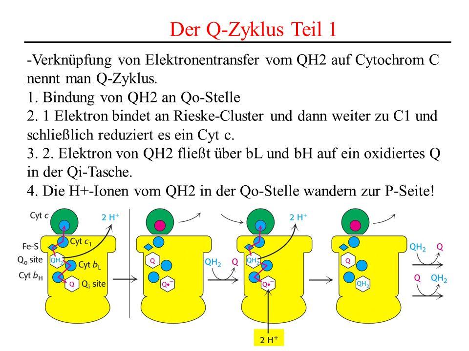 Der Q-Zyklus Teil 1 -Verknüpfung von Elektronentransfer vom QH2 auf Cytochrom C. nennt man Q-Zyklus.