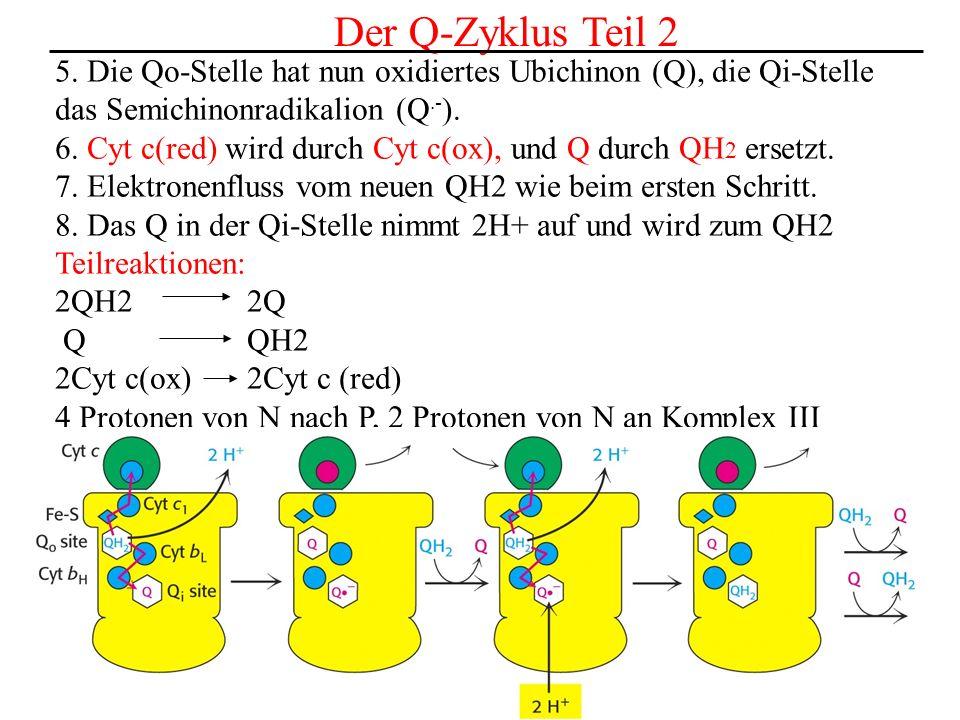 Der Q-Zyklus Teil 2 5. Die Qo-Stelle hat nun oxidiertes Ubichinon (Q), die Qi-Stelle. das Semichinonradikalion (Q.-).