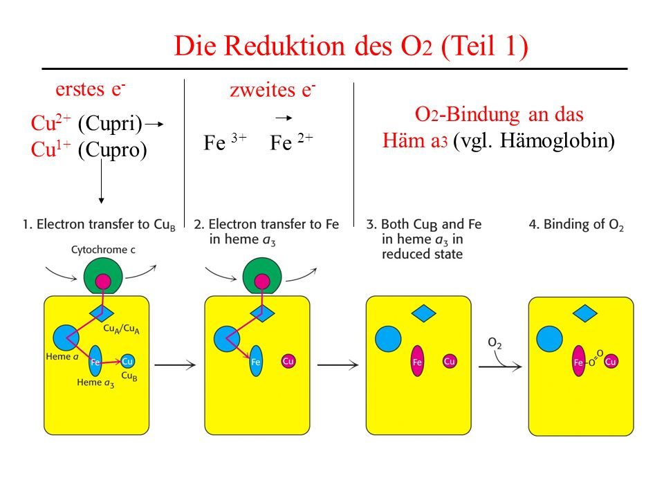 Die Reduktion des O2 (Teil 1)