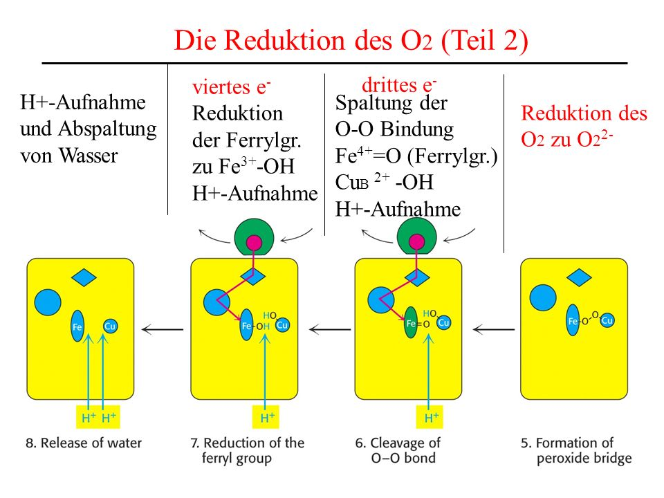 Die Reduktion des O2 (Teil 2)