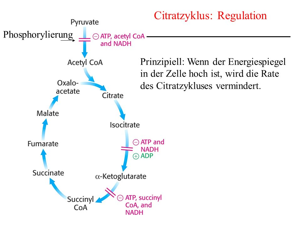 Citratzyklus: Regulation