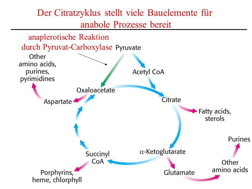 Der Citratzyklus stellt viele Bauelemente für anabole Prozesse bereit