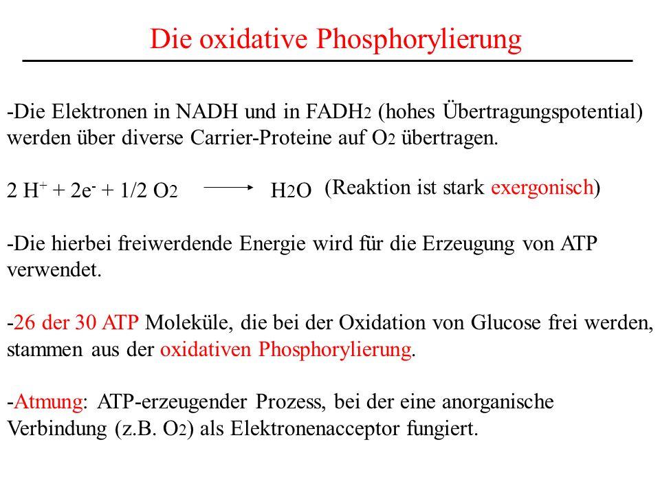 Die oxidative Phosphorylierung