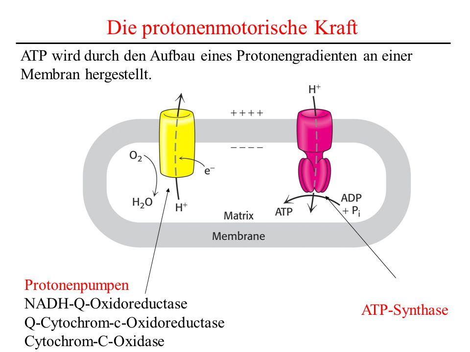 Die protonenmotorische Kraft