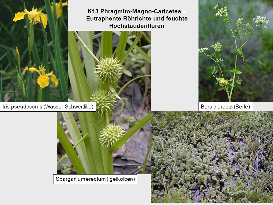 K13 Phragmito-Magno-Caricetea – Eutraphente Röhrichte und feuchte Hochstaudenfluren