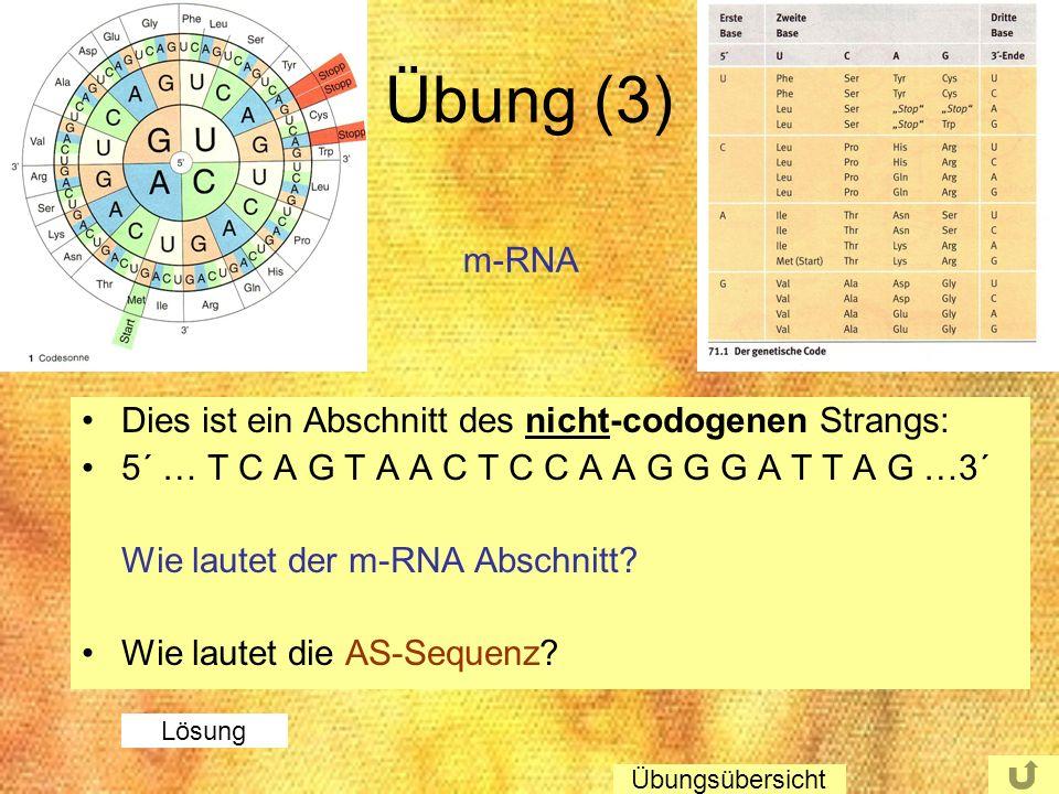 Übung (3) m-RNA Dies ist ein Abschnitt des nicht-codogenen Strangs: