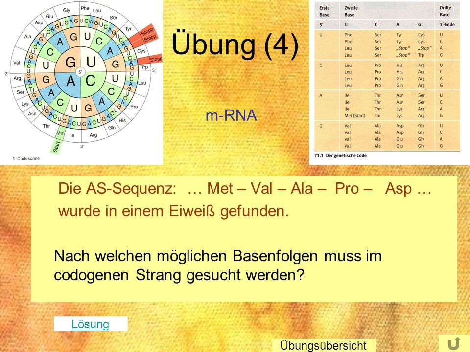Übung (4) m-RNA Die AS-Sequenz: … Met – Val – Ala – Pro – Asp …