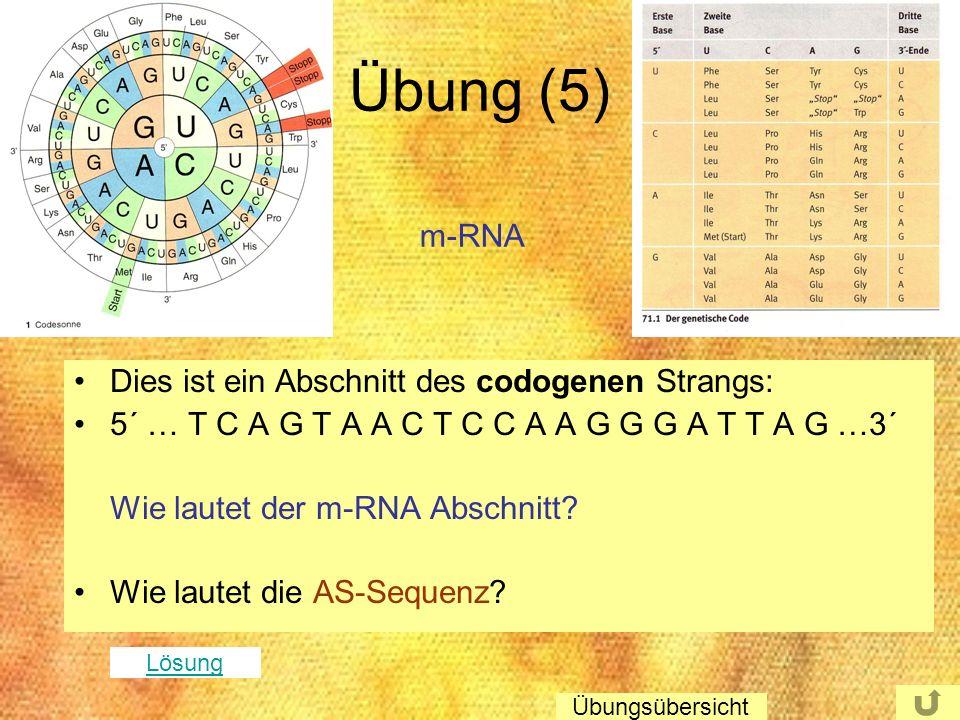 Übung (5) m-RNA Dies ist ein Abschnitt des codogenen Strangs: