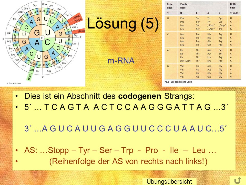 Lösung (5) m-RNA Dies ist ein Abschnitt des codogenen Strangs: