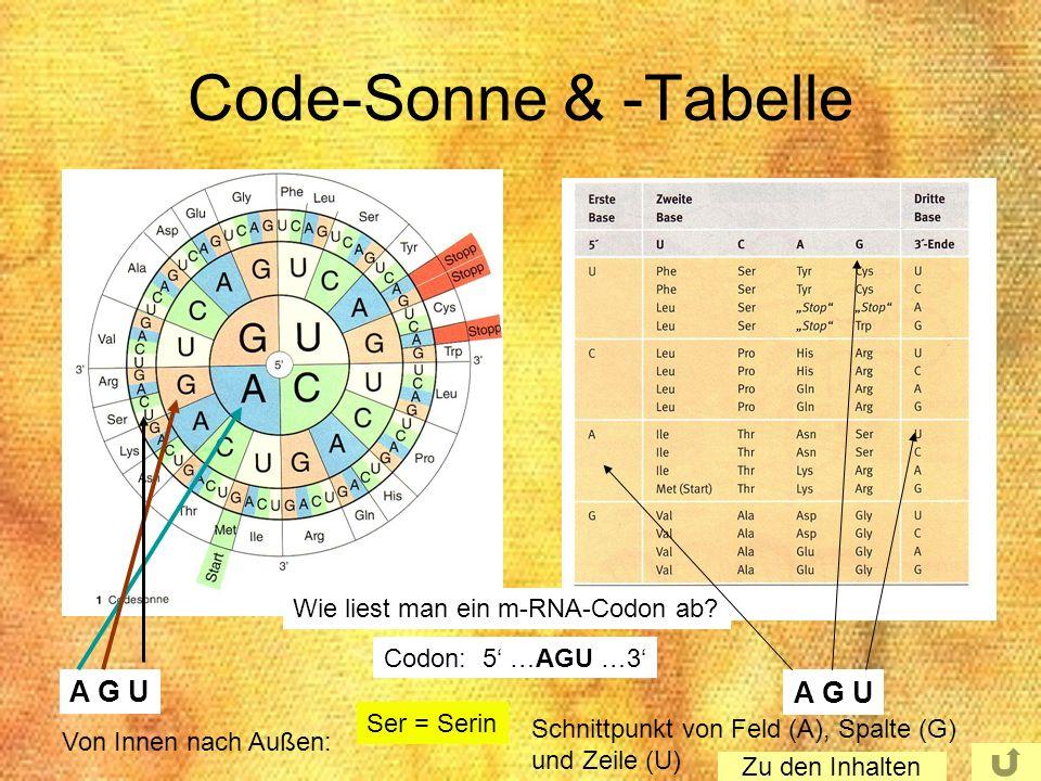 Code-Sonne & -Tabelle A G U A G U Wie liest man ein m-RNA-Codon ab