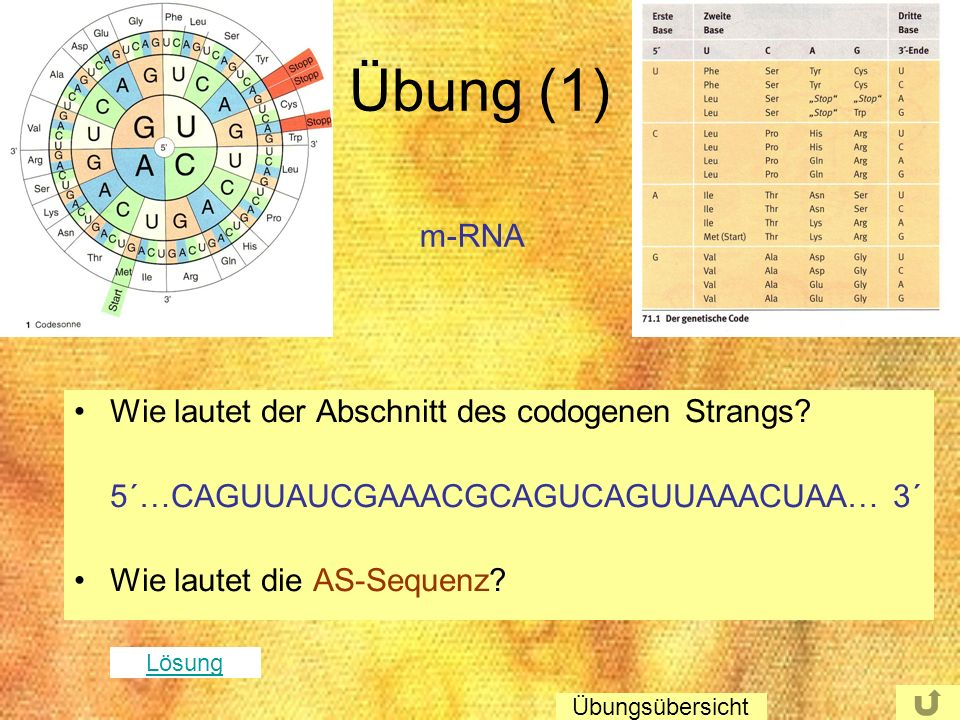 Übung (1) m-RNA Wie lautet der Abschnitt des codogenen Strangs