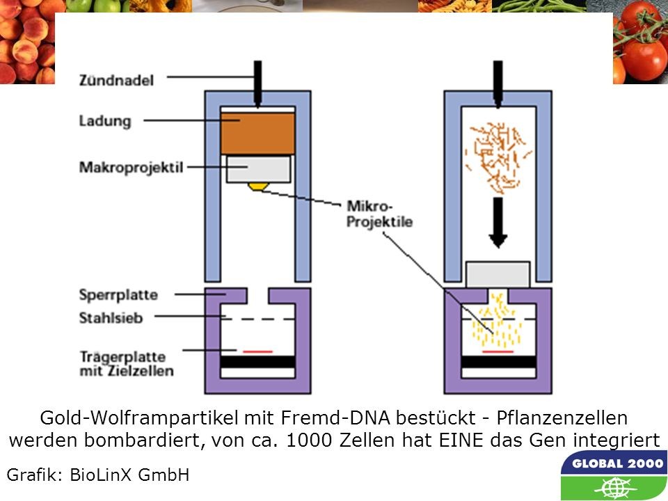 Partikel Gun Gold-Wolframpartikel mit Fremd-DNA bestückt - Pflanzenzellen werden bombardiert, von ca. 1000 Zellen hat EINE das Gen integriert.