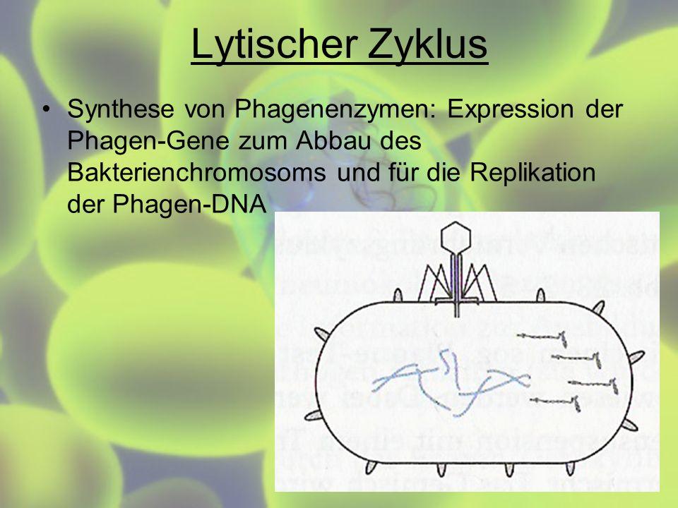 Lytischer ZyklusSynthese von Phagenenzymen: Expression der Phagen-Gene zum Abbau des Bakterienchromosoms und für die Replikation der Phagen-DNA.