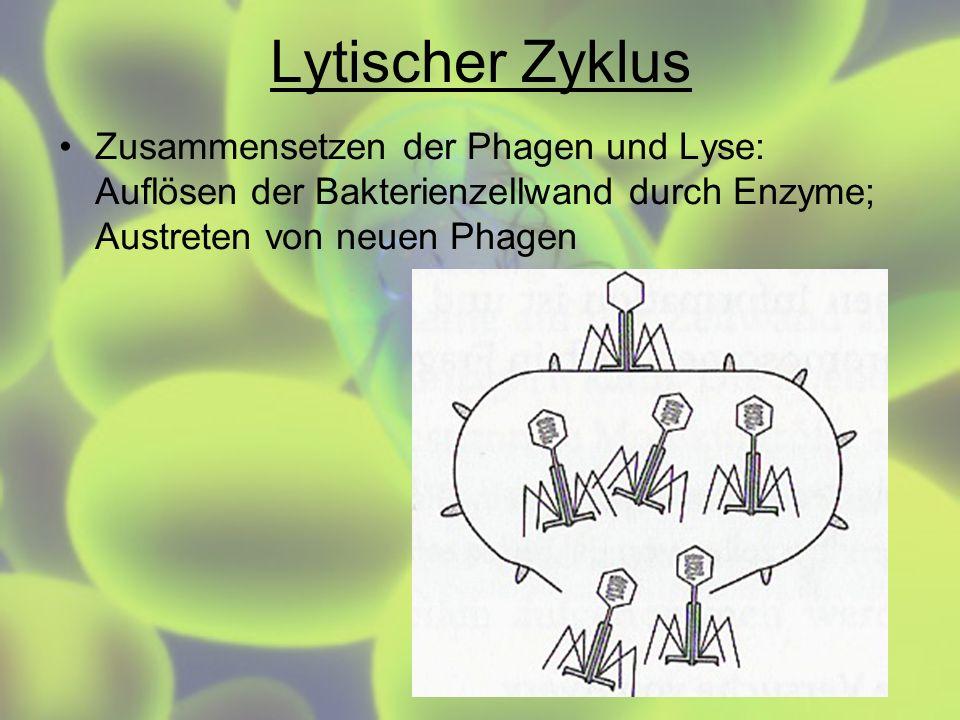 Lytischer ZyklusZusammensetzen der Phagen und Lyse: Auflösen der Bakterienzellwand durch Enzyme; Austreten von neuen Phagen.