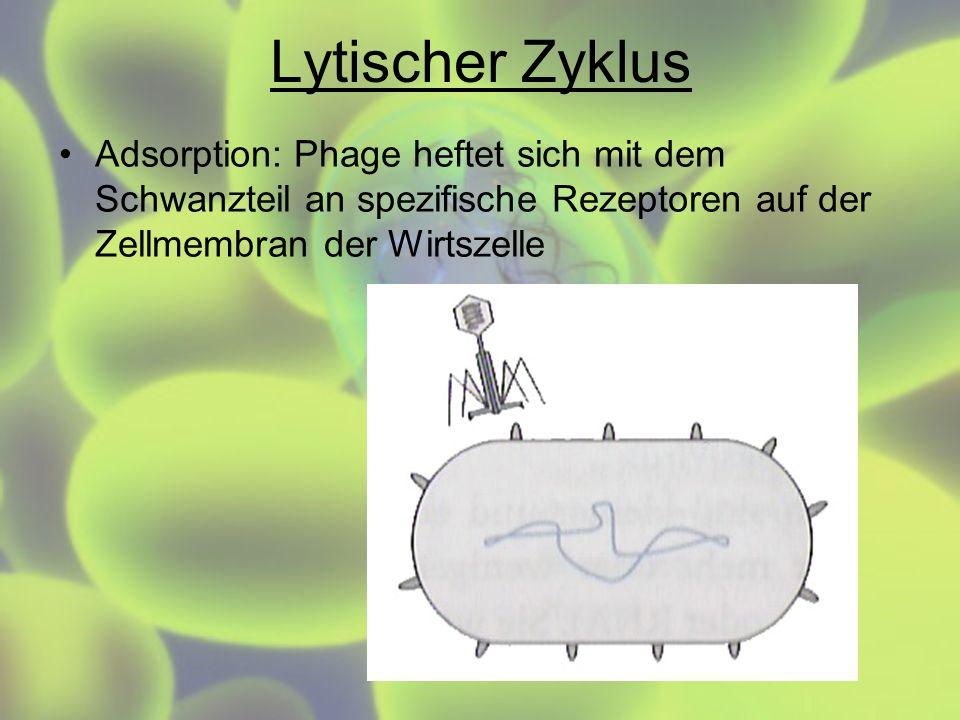 Lytischer ZyklusAdsorption: Phage heftet sich mit dem Schwanzteil an spezifische Rezeptoren auf der Zellmembran der Wirtszelle.