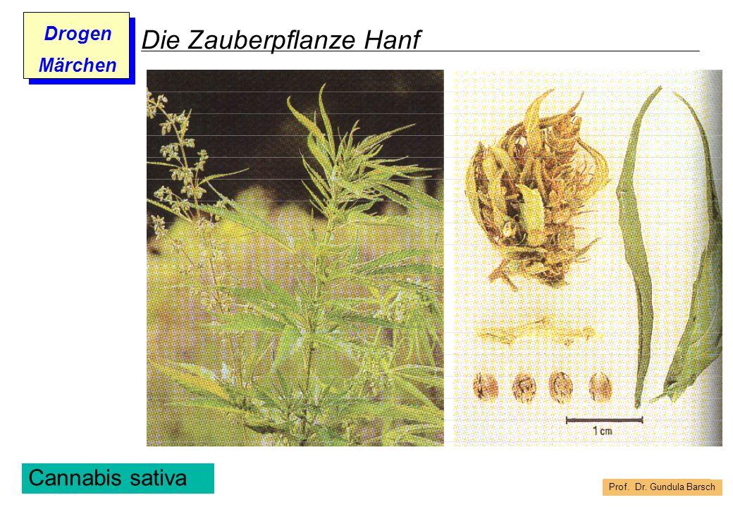Die Zauberpflanze Hanf
