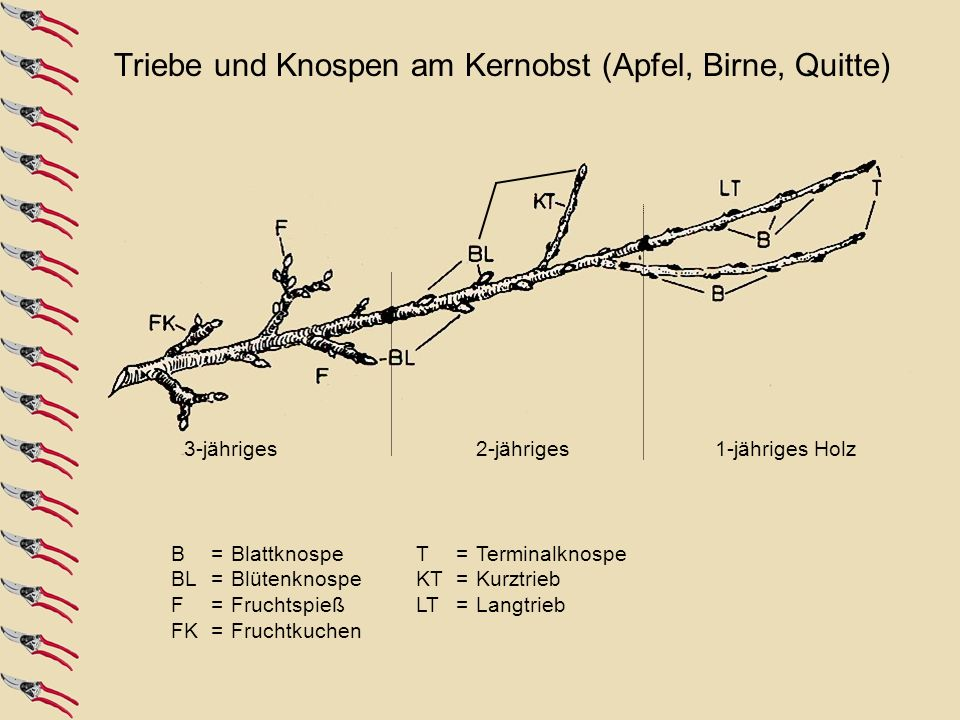 Triebe und Knospen am Kernobst (Apfel, Birne, Quitte)