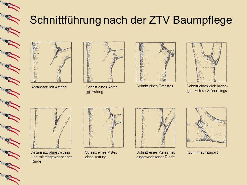 Schnittführung nach der ZTV Baumpflege