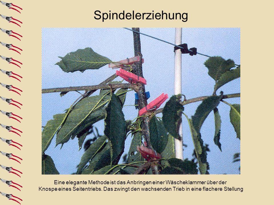 Spindelerziehung Neben dem Schnitt auf flache Seitentriebe wird bei Spindeln die gewünschte.