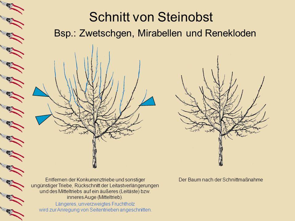 Schnitt von Steinobst Bsp.: Zwetschgen, Mirabellen und Renekloden