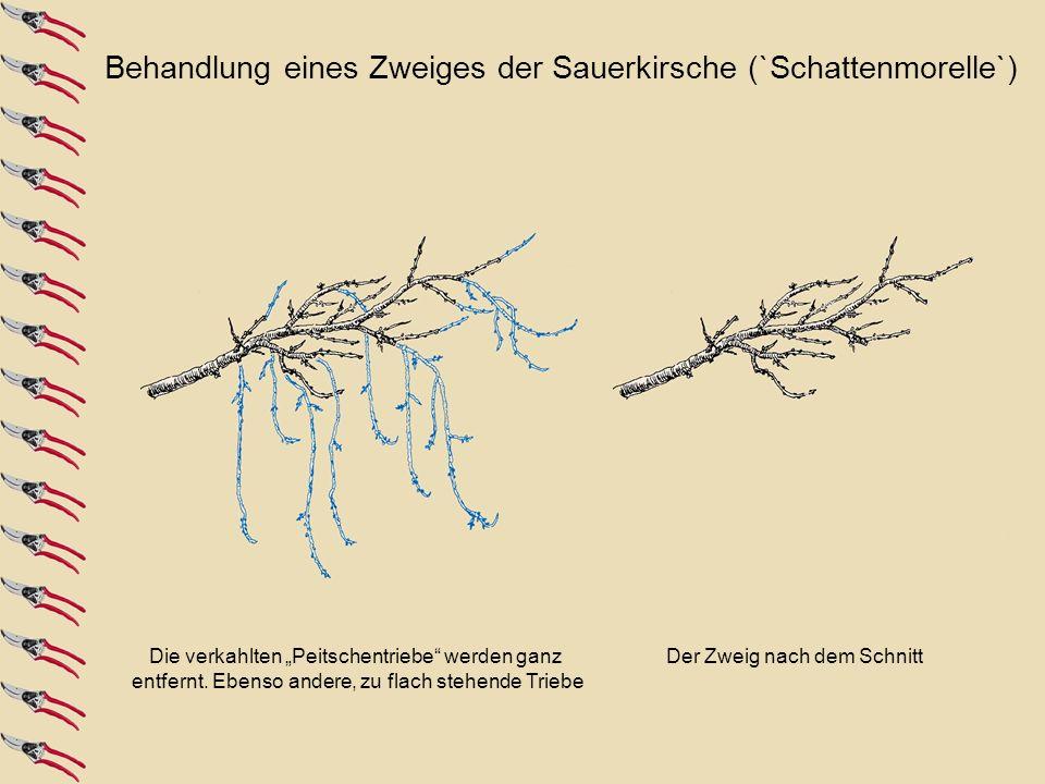 Behandlung eines Zweiges der Sauerkirsche (`Schattenmorelle`)