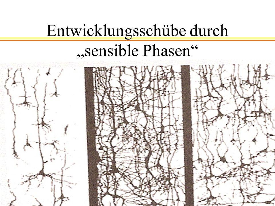"""Entwicklungsschübe durch """"sensible Phasen"""