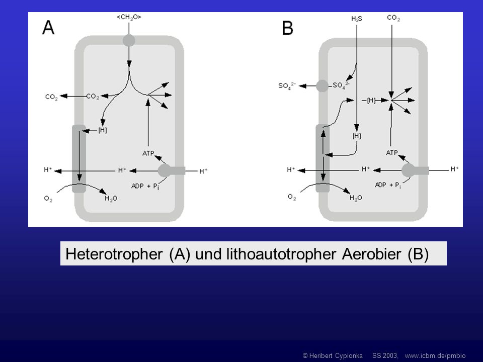 Heterotropher (A) und lithoautotropher Aerobier (B)