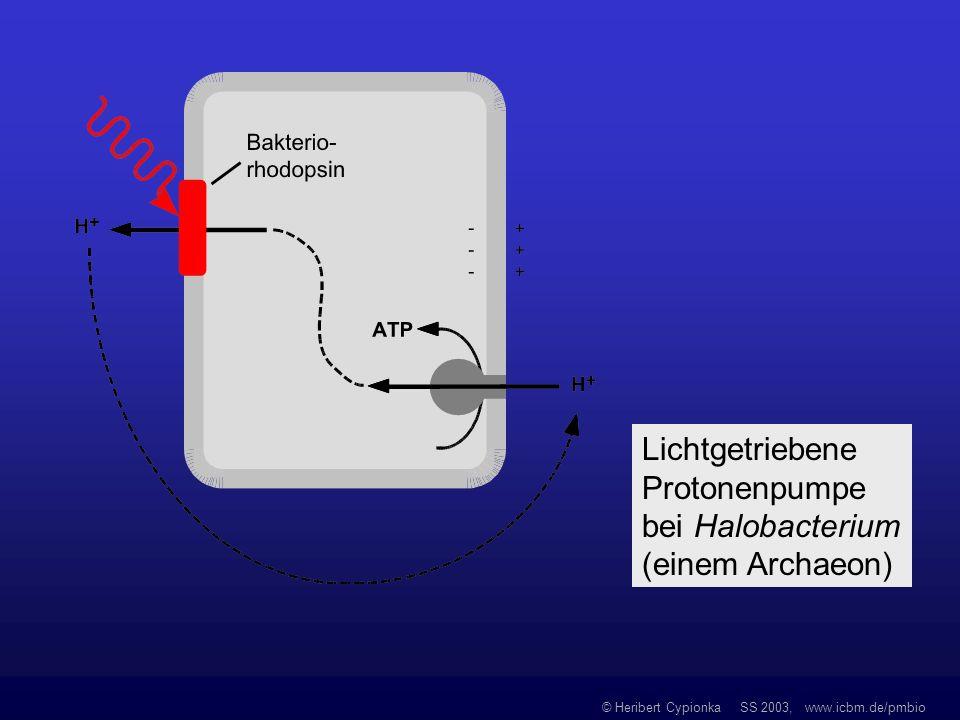 Lichtgetriebene Protonenpumpe bei Halobacterium (einem Archaeon)