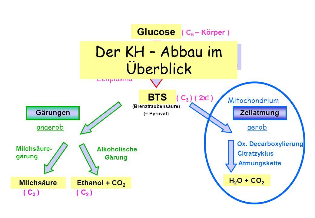 Niedlich Überblick über Die Zellatmung Und Gärung Arbeitsblatt ...