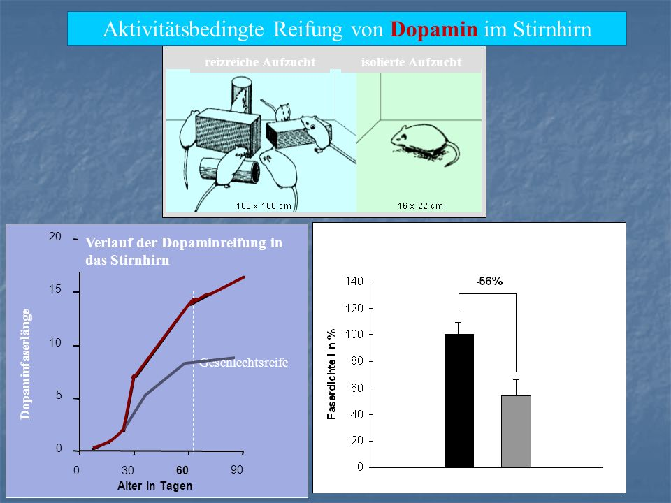 Aktivitätsbedingte Reifung von Dopamin im Stirnhirn