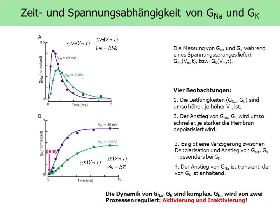 Zeit- und Spannungsabhängigkeit von GNa und GK