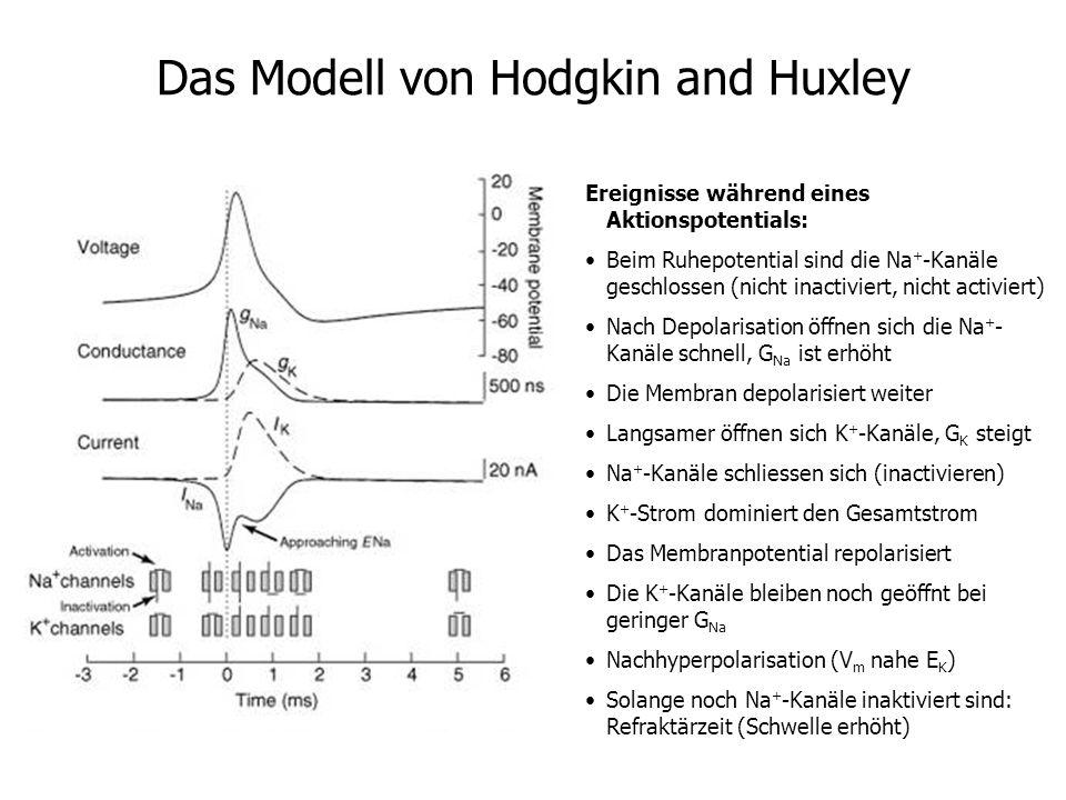 Das Modell von Hodgkin and Huxley