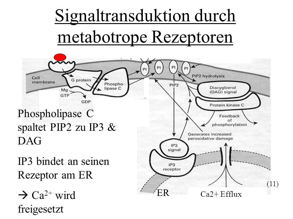 Signaltransduktion durch metabotrope Rezeptoren