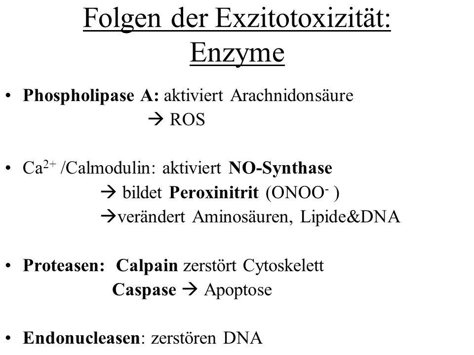 Folgen der Exzitotoxizität: Enzyme