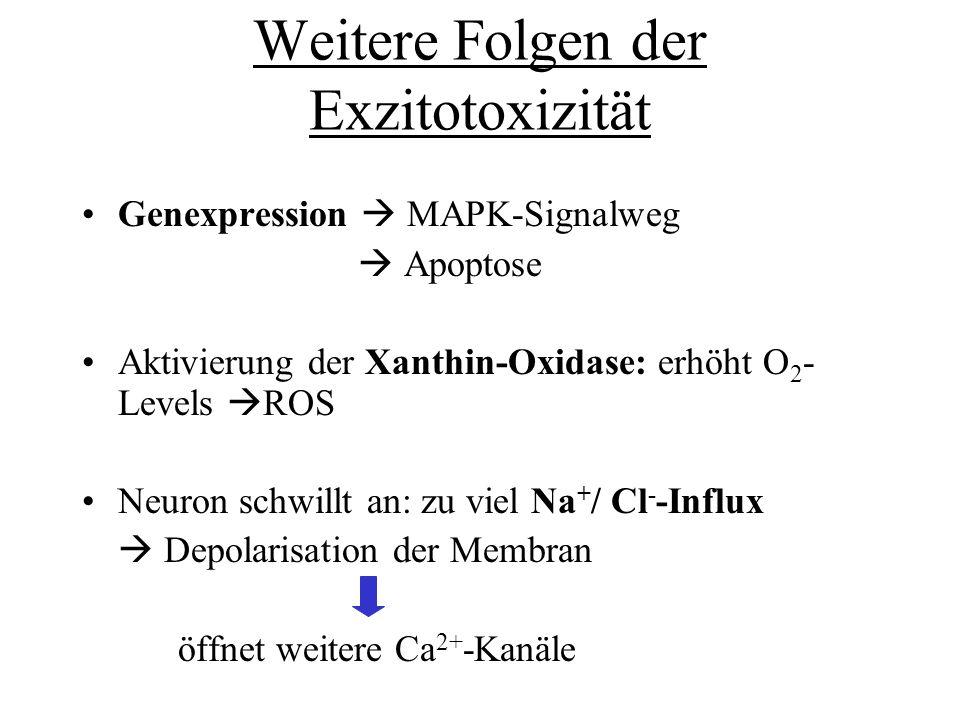 Weitere Folgen der Exzitotoxizität