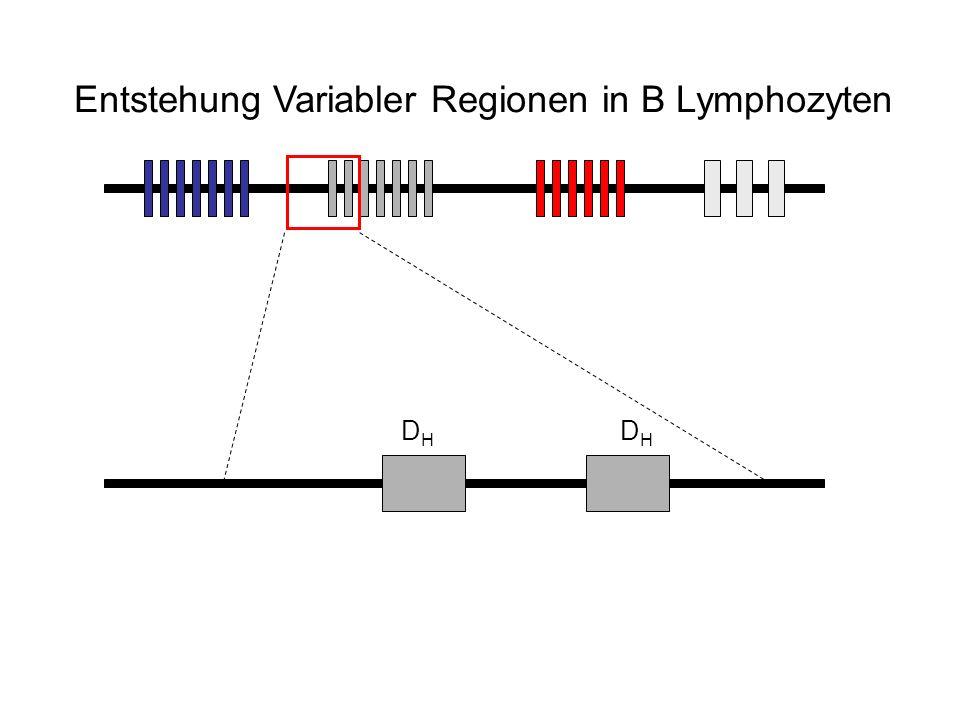 Entstehung Variabler Regionen in B Lymphozyten