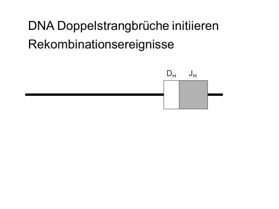 DNA Doppelstrangbrüche initiieren Rekombinationsereignisse